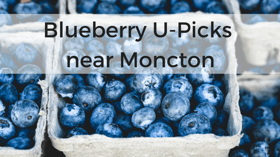 blueberry u-pick moncton Blueberry u pick Moncton Dieppe riverview pickle planet high bush low wild u-pick blueberries south eastern new brunswick