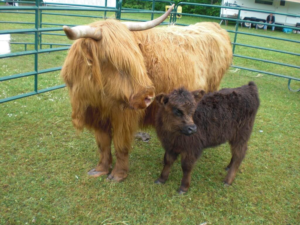 moncton highland games highland cow