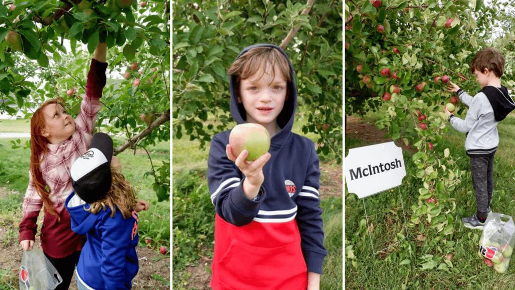 apple u pick orchard moncton memramcook kids family new brunswick innovation business verger belliveau orchard scow cider podcast pickle planet