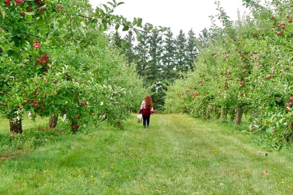 apple picking kids memramcook moncton orchard fun pickle planet