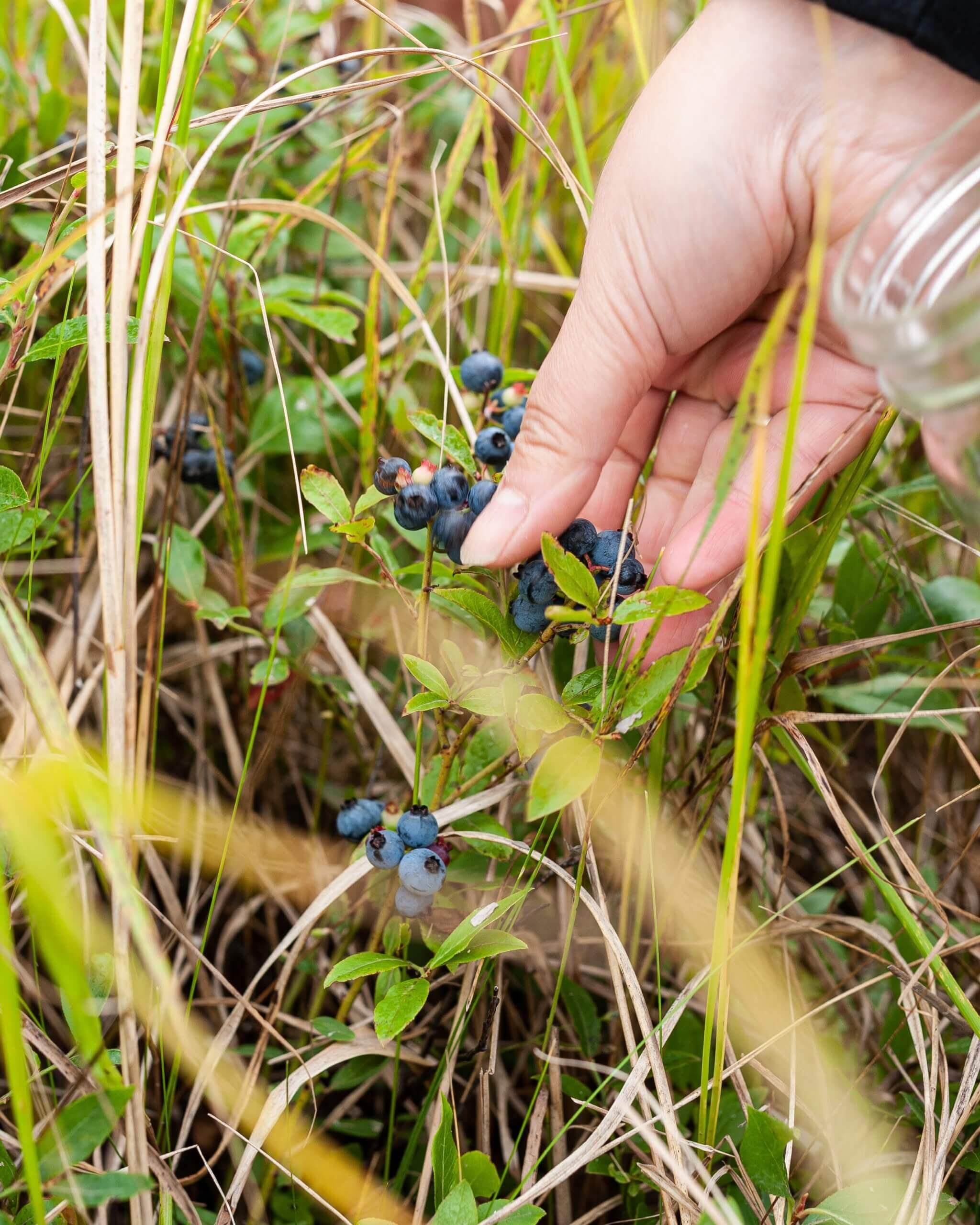 close up of person's hand picking wild blueberries in new brunswick