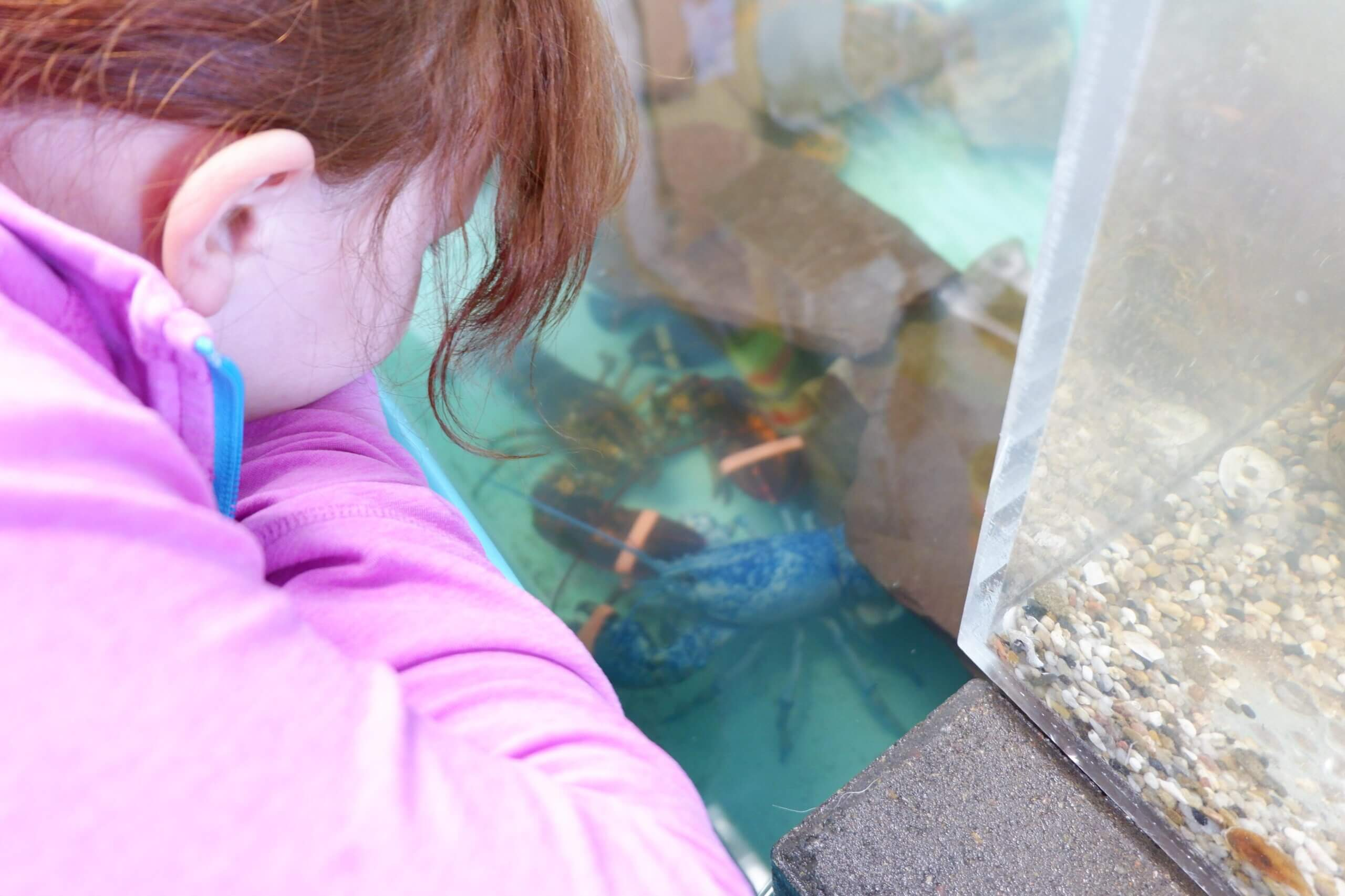 pickle planet kid looking at a blue lobster in the tank at the homarus ecocentre in shediac
