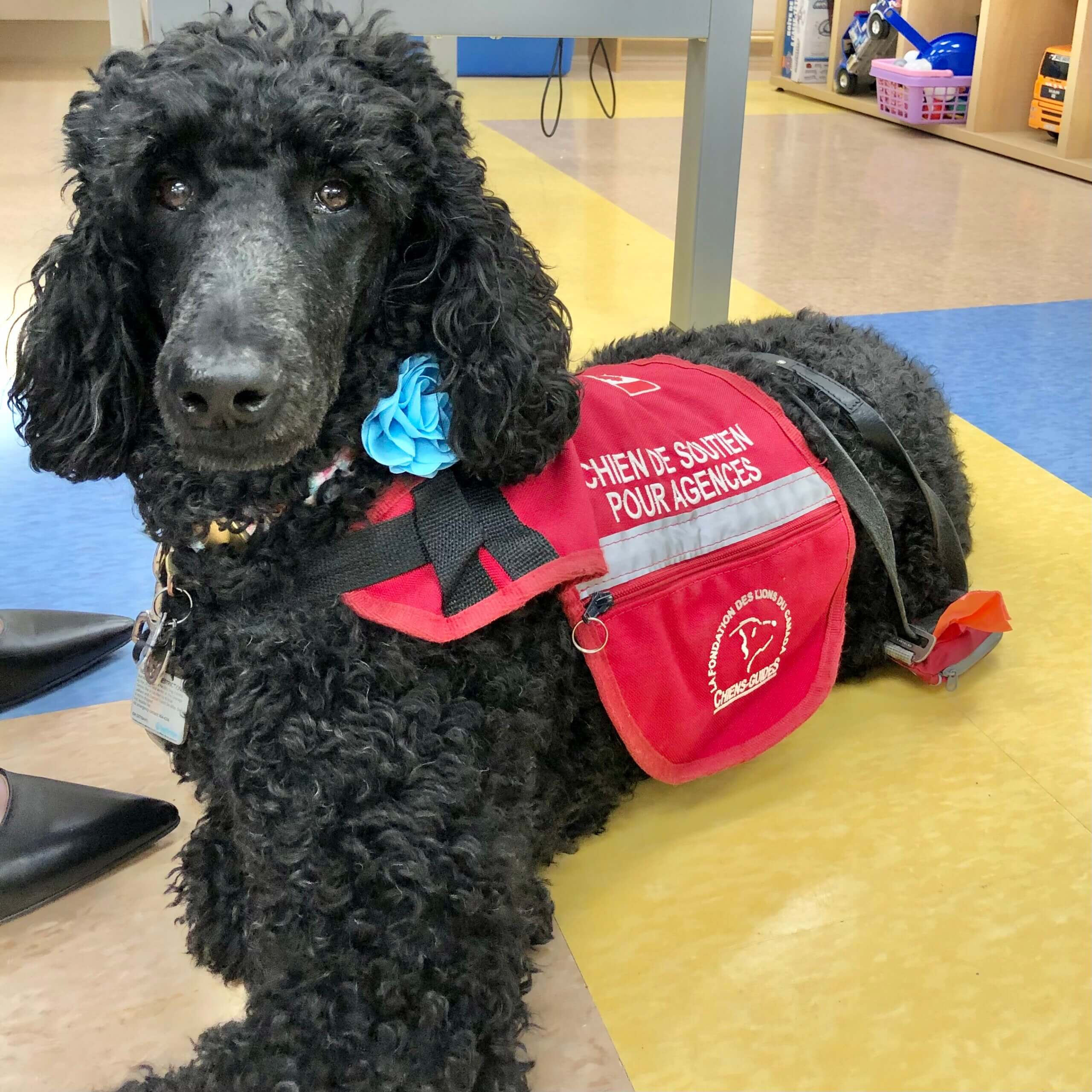 la belle marielle new brusnwick's first trauma support dog at the beausejour family resource centre